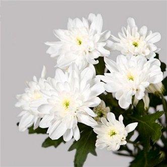 Хризантемы кустовые поштучно